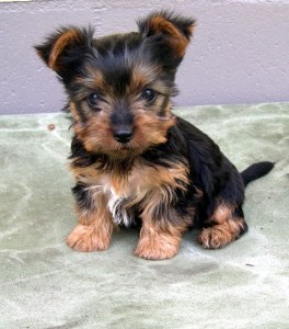 ausilk Silky Terrier