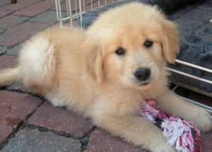 golden-retriever-pup